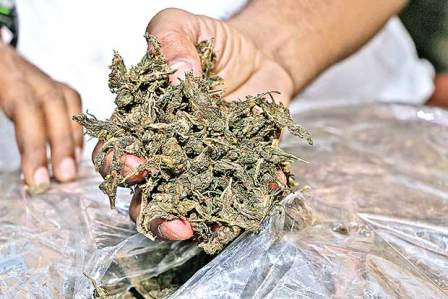 Police seized ganja worth Rs 40 lakh from a tractor at Lamatput in Koraput